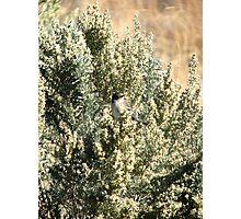 Sage Sparrow Photographic Print