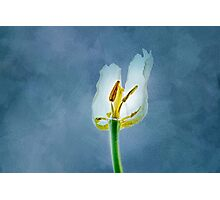 White withering tulip flower Photographic Print