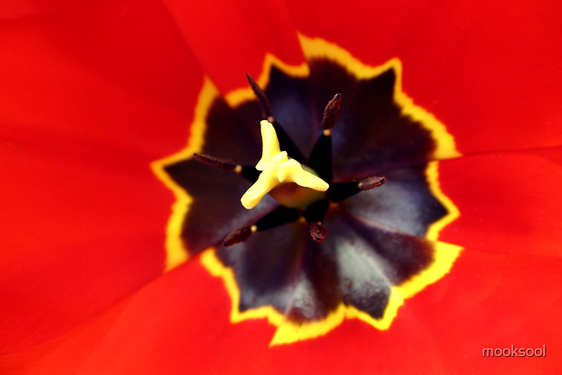 Red tulip centre by mooksool