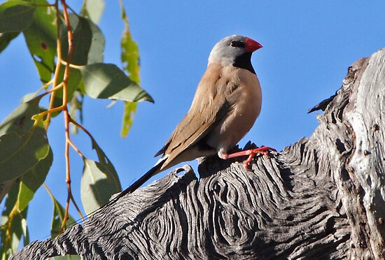 Long-tailed Finch  (red bill) by Robert Elliott