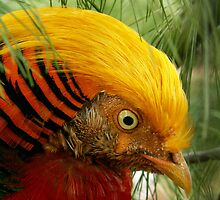Golden Pheasant by Rpnzle