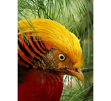 Golden Pheasant Photographic Print