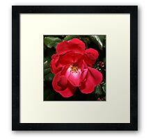 Knock-Out-Rose Framed Print