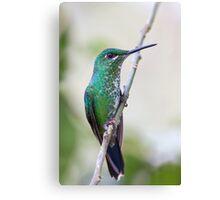 Green-crowned Brilliant hummingbird - Costa Rica Canvas Print