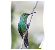 Green-crowned Brilliant hummingbird - Costa Rica Poster