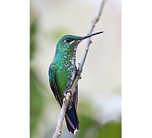 Green-crowned Brilliant hummingbird - Costa Rica Photographic Print