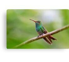 Rufous-tailed hummingbird - Costa Rica Canvas Print