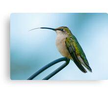 Hummingbird Tongue Canvas Print