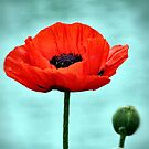 RED POPPY by cdudak