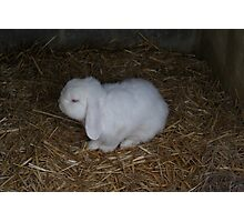 White Fluffy Bunny Photographic Print