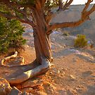 Grand canyon, Hopi Point, cypress tree by al holliday