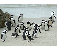 African Penguins Photographic Print