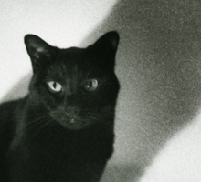 Portrait of black cat on sofa film noir chiaro scuro black and white square silver gelatin film analog photo Sticker