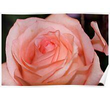 Peach Rose Poster