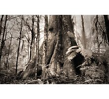 Mountain Ash, Yarra Ranges. Photographic Print