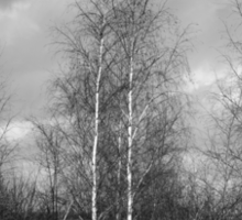 Trees in Black and White Sticker