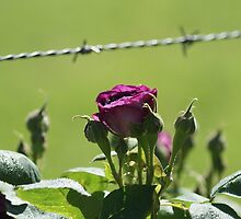 Barbwire Rose by Sharon Robertson