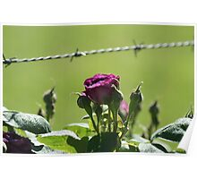 Barbwire Rose Poster