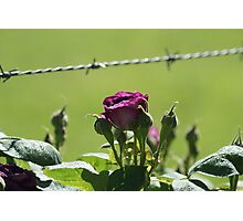 Barbwire Rose Photographic Print