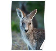 Eastern Kangaroo Poster