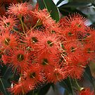 Pink Ficifolia flowers  by Bev Pascoe
