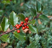 Holly Berries by ericseyes