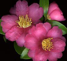 Rose Camellias by Marsha Tudor