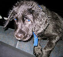 Wet Puppy~Drenched after his first long walk :)) by Honor Kyne
