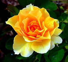 Apricot Rose by NatureRules