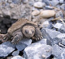 Emerging Snapping Turtle by mstinak