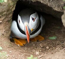 Pensive Puffin by Jacky Parker