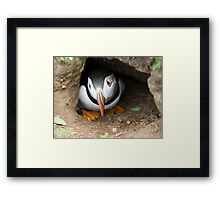 Pensive Puffin Framed Print