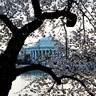 Japanese Cherry Blossoms/Jefferson Memorial by Bine