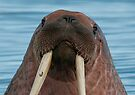 Walrus III by Steve Bulford
