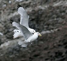 Fighting Kittiwakes II by Steve Bulford