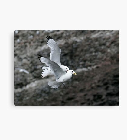 Fighting Kittiwakes II Canvas Print