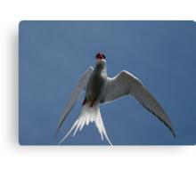 Arctic Tern – Up Close! Canvas Print