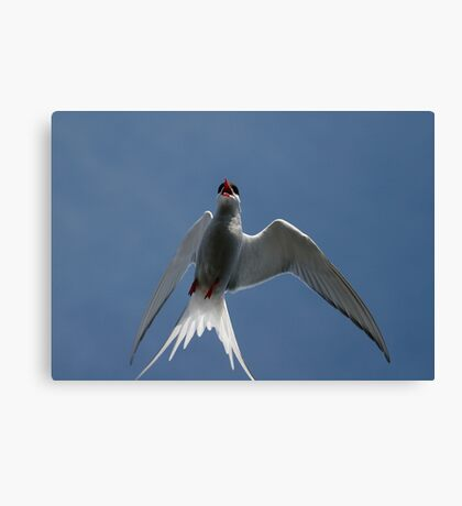 Arctic Tern – Up Close! Canvas Print