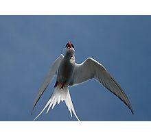 Arctic Tern – Up Close! Photographic Print