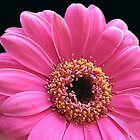 Stunning Pink Gerbera Daisy on Black Background by MidnightMelody