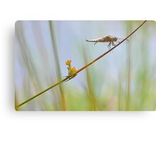 Male Chaser . Metal Print