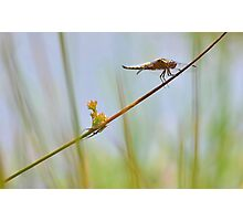 Male Chaser . Photographic Print