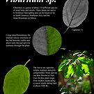 Viburnum sp. by Douglas Gaston IV