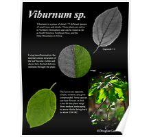 Viburnum sp. Poster