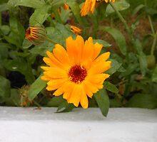 Cute Calendula by kathrynsgallery