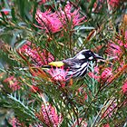 New Holland Honey Eater! by TracyD