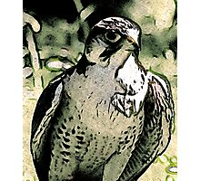 Falcon #2 Photographic Print