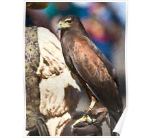 Stylized photo of a falcon sitting on leather gloved hand of falconer Poster