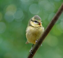 Tweety Pie by Jacky Parker