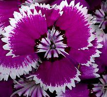 Dianthus by Bonnie T.  Barry